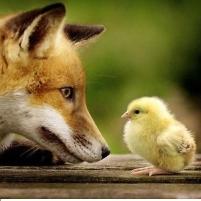 fox chick