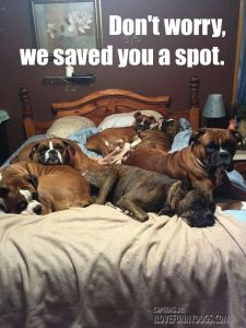 bed-full-of-dogs